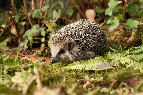 Photo  Baby Hedgehog