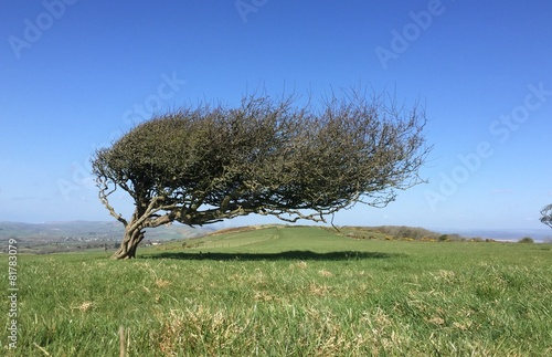 windswept lone tree on hill Fototapeta