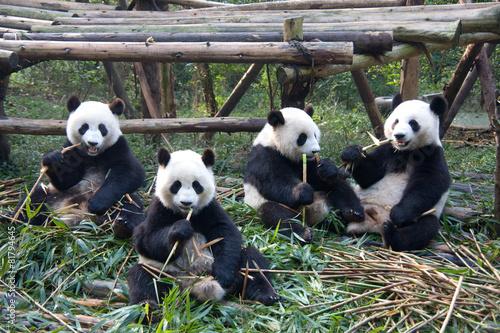 Valokuva  成都パンダ繁育研究基地のパンダ