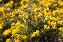 Bright Yellow Common Gorse Flowers