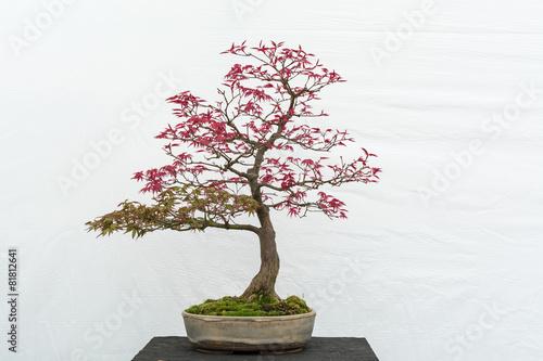 Spoed Fotobehang Bonsai green collection of Bonsai