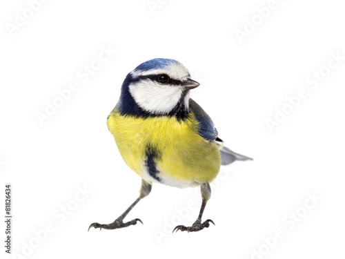 Slika na platnu Blue tit on white background looking to the right