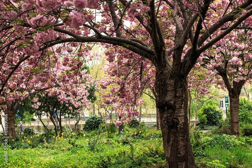 Foto op Canvas Weg in bos Jardin de cerisier au printemps