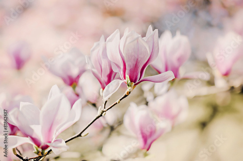 Obrazy Magnolie  magnolienbluten