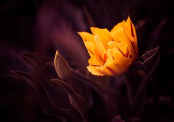Fototapetacolorful tulip at spring garden