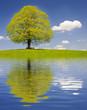 canvas print picture - Große alte Linde im Frühling mit Spiegelung im See