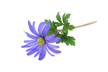Blue Spring Flower On A White Background