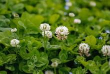White Clover (Trifolium Repens...