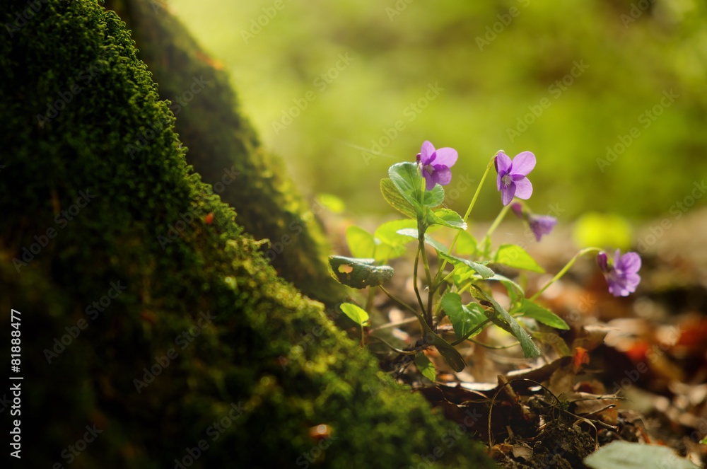 Fototapety, obrazy: Violet on the spring forest