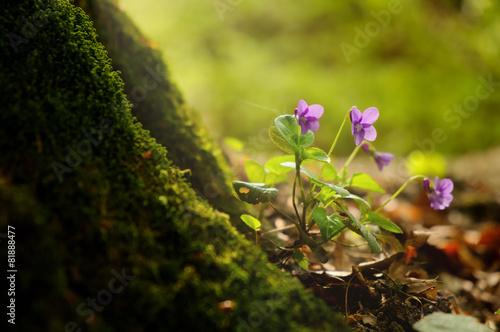 Fotografija  Violet on the spring forest