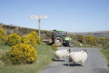 Sheep Crossing Road On Dartmoor Devon England UK