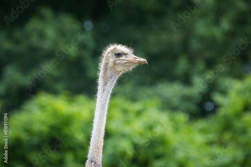Aluminium Prints Ostrich Ostrich portrait
