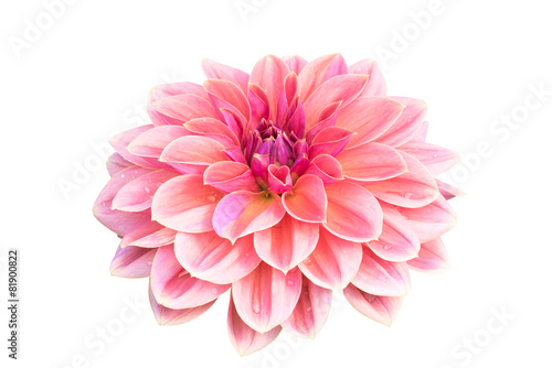 Stampa su Tela Dahlia flower isolated on white background