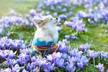 Chihuahua Dog Dreaming Among Purple Crocus Flowers