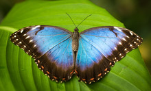 Blue Butterfly On The Green Leaf Detail