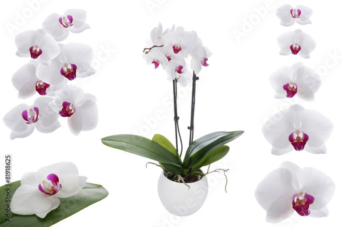 White orchid on a white background - 81918625