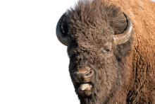 Buffalo Bison In Yellowstone I...