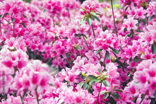 Foto op Aluminium Azalea Azaleenblüten