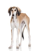 Saluki Dog Standing On White