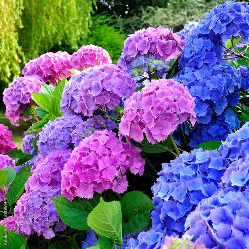 Foto op Plexiglas Hydrangea Hortensias dans un jardin