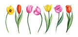 Fototapeta Tulips - Tulips