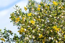 Blooming Creosote Bush (Larrea Tridentata) Against The Sky
