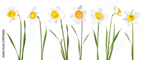 Flowers daffodils