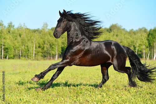 Black Frieasian horse runs gallop in freedom Wallpaper Mural