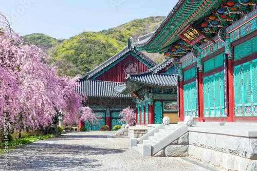 Fototapeta premium Gyeongbokgung Palace with cherry blossom in spring,Korea