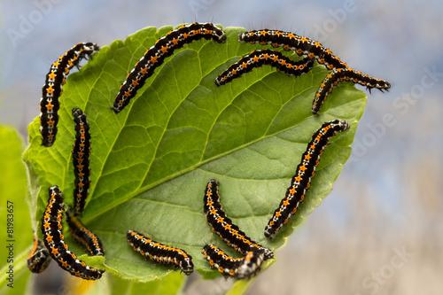 Pinturas sobre lienzo  caterpillars devour the leaves