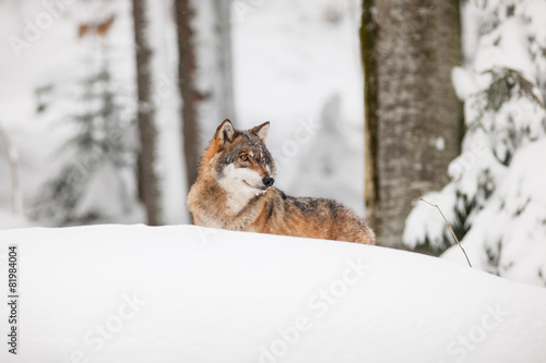 portrait grey wolf in the snow Canvas Print