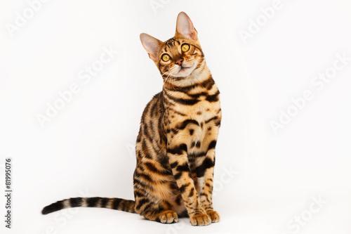Bengal Cat Canvas Print