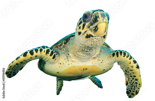 Poster Tortue Hawksbill Sea Turtle isolated on white