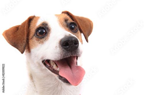 Obraz na plátně jack russell terrier