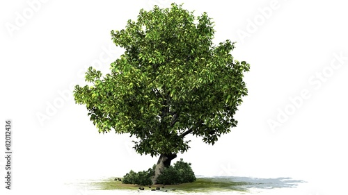 Obraz Tree American Beech - separated on white background  - fototapety do salonu