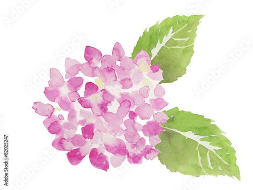 ピンク色の紫陽花 水彩イラスト