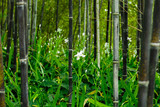Fototapeta Bambus - Iris japonica in rare black bamboo forest in Kyoto, Japan