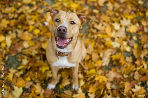Dog on the yellow leaves Canvas Print