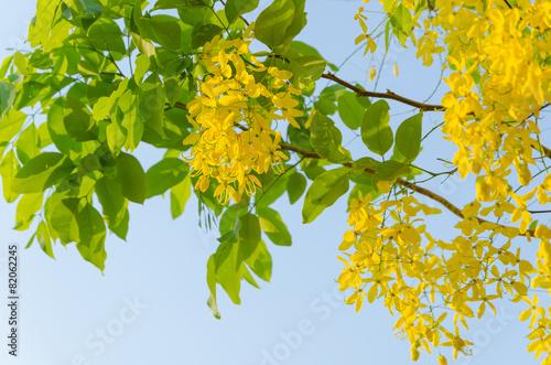 Golden shower tree beautiful yellow flower name is ratchaphruek golden shower tree beautiful yellow flower name is ratchaphruek mightylinksfo