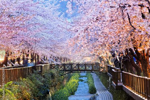 Fotografía  cherry blossoms, busan city in south korea