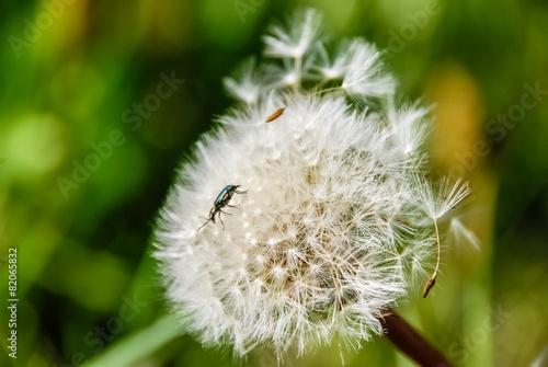 Heads of seeds of dandelion flower against green background.