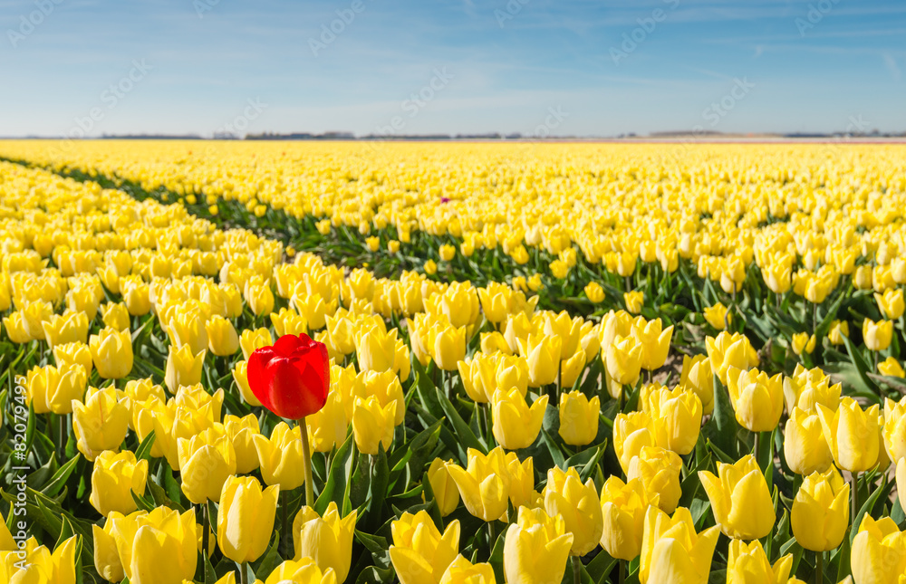 Fototapety, obrazy: Striking red blooming tulip among lots of yellow tulips