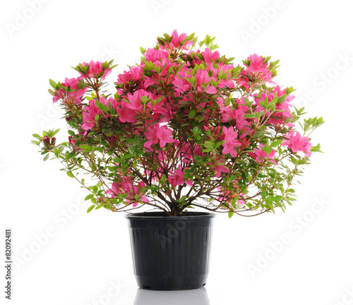 Montage in der Fensternische Azalee vase with blossom azalea