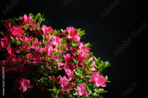 Papiers peints Azalea blossom azalea