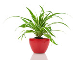 Chlorophytum plant in the red pot