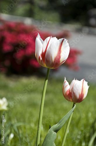 Foto op Canvas Azalea il tulipano screziato