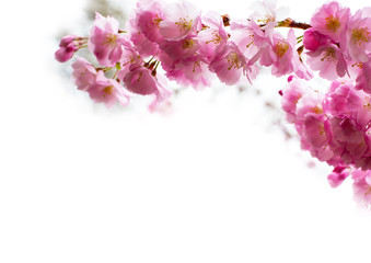 Naklejka Japoński background with Beautiful pink cherry blossom, Sakura flowers on