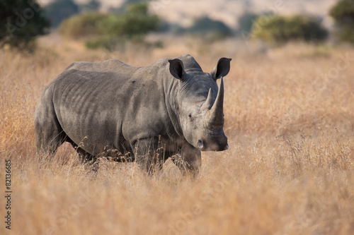 Poster Neushoorn Lone rhino standing on open area looking for safety from poacher