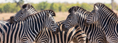 Aluminium Prints Zebra Zebra herd in colour photo with heads together