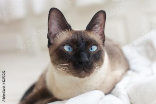 Fotografie, Obraz siamese blue point cat
